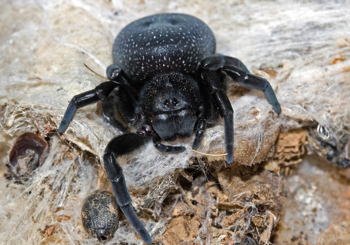 Eresus sp. - Röhrenspinne (weiblich) - Fam. Eresidae  -  Kos - Araneae - Webspinnen - orb-weaver spiders