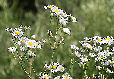 Erigeron annuus - Berufkraut - Fam. Asteraceae - Wegrand, Ruderalpflanzen - ruderal species