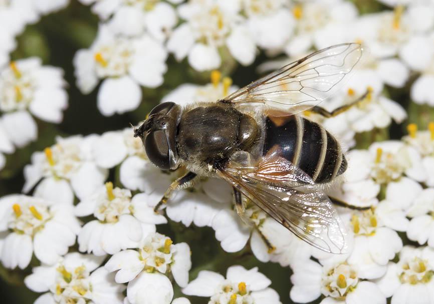 Eristalis arbustorum  - Fam. Syrphidae - Schwebfliegen - Brachycera (Fliegenartige) - Aschiza