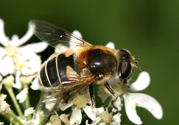 Eristalis jugorum - Gebirgs-Keilfleckfliege - Fam. Syrphidae - Schwebfliegen - Brachycera (Fliegenartige) - Aschiza