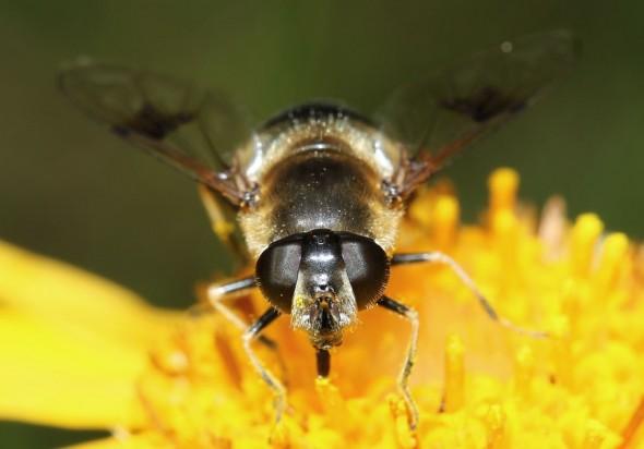 Eristalis rupium - Glänzende Keilfleck-Schwebefliege - Fam. Syrphidae - Schwebfliegen - Brachycera (Fliegenartige) - Aschiza
