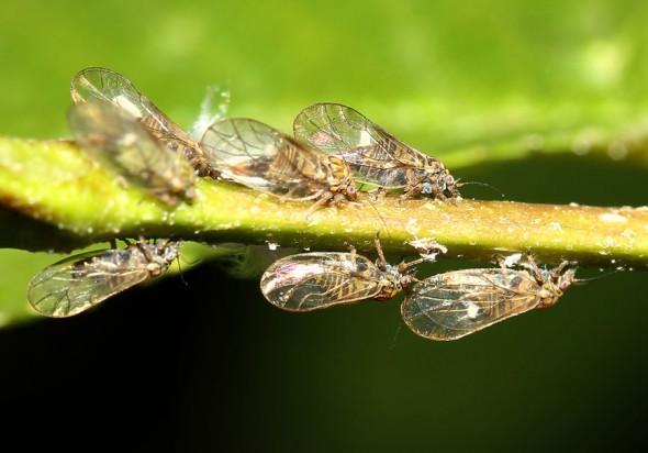 Psylla alni   -  Erlen-Blattfloh - (adult) - Fam. Psyllidae (Blattflöhe)  - Sternorrhyncha - Pflanzenläuse