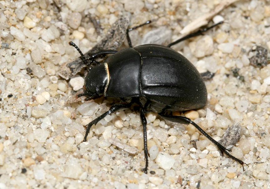 Erodius orientalis - Naxos - Tenebrionidae - Schwarzkäfer - darkling beetles