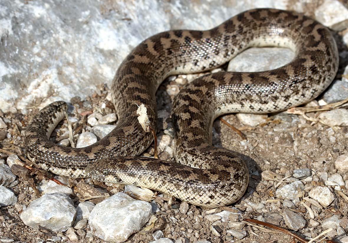 Eryx jaculus - Sandboa - Amorgos - Serpentes - Schlangen - snakes