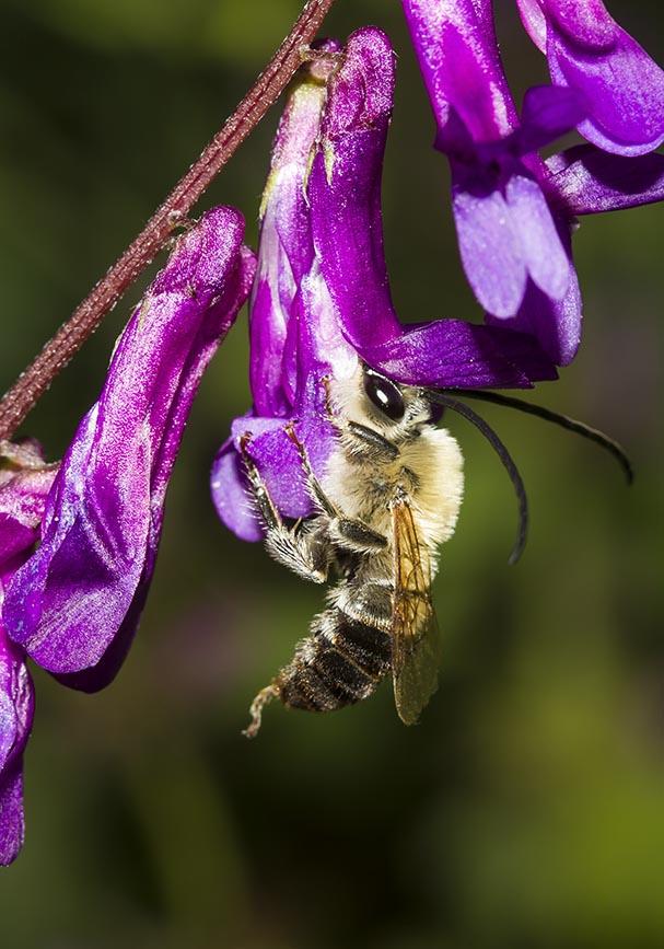 Eucera sp. - Langhornbiene - Meteora  (Thessalien - Griechenland) - Apidae - Bienen - bees