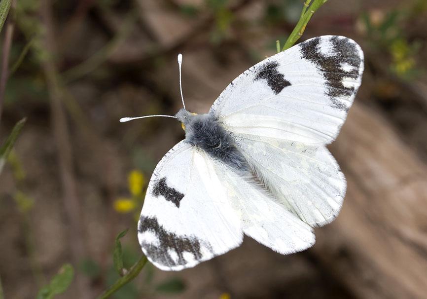 Euchloe ausonia - Östlicher Gesprenkelter Weißling - Meteora - Thessalien - Pieridae - Weißlinge - whites