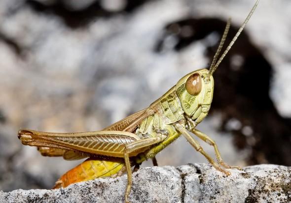Euchorthippus-declivus - Dickkopf-Grashüpfer - Fam. Acrididae/Gomphocerinae  -  Kroatien - Caelifera - Kurzfühlerschrecken - grasshoppers