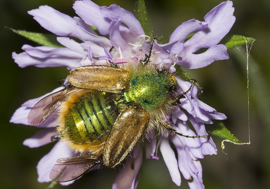 Eulasia pareyssei - Fam. Glaphyridae  -  Meteora - Tessalien - Scarabaeidea - Blatthornkäfer - scarab beetles