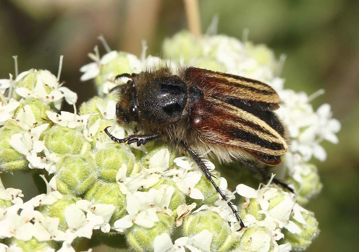 Eulasia vittata lineata - Fam. Glaphyridae  -  Lesbos - Scarabaeidea - Blatthornkäfer - scarab beetles