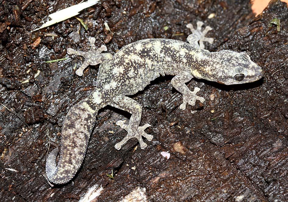 Euleptes europaea - Europäischer Blattfinger - Toscana - Lacertilia - Echsen - lizards