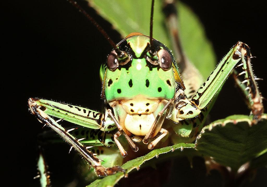 Eupholidoptera chabrieri epirotica - Korfu - Ensifera - Tettigonidae - Laubheuschrecken - bush crickets