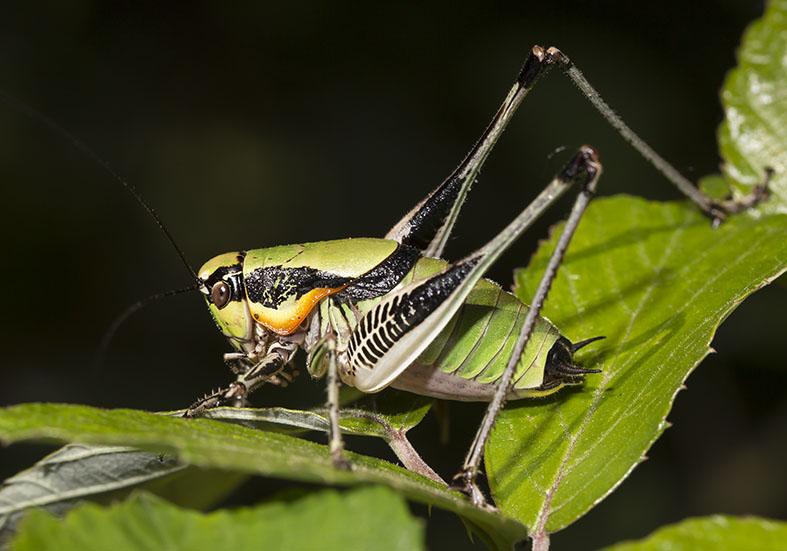 Eupholidoptera chabrieri schmidti - Zagori (Griechenland) - Ensifera - Tettigonidae - Laubheuschrecken - bush crickets