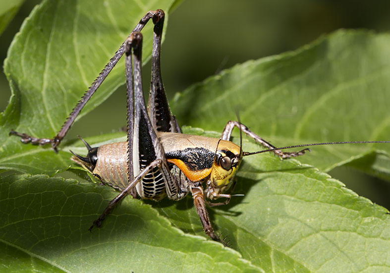 Eupholidoptera megastyla - Pilion (Griechenland) - Ensifera - Tettigonidae - Laubheuschrecken - bush crickets