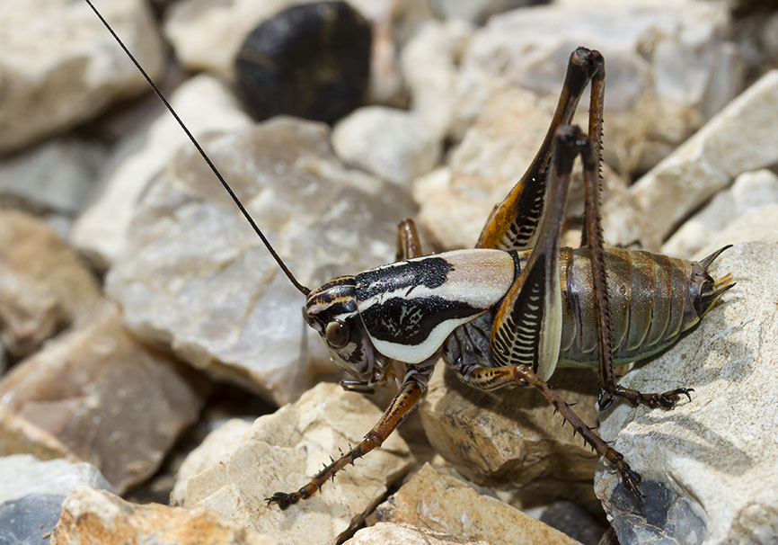 Eupholidoptera megastyla (male) - Mittelgriechenland - Ensifera - Tettigonidae - Laubheuschrecken - bush crickets