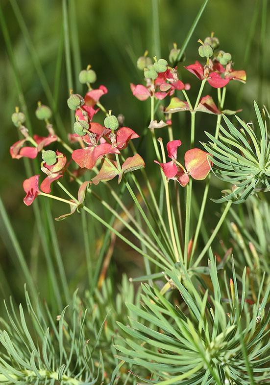 Euphorbia cyparissias - Zypressenblättrige Wolfsmilch  - Fam. Euphorbiaceae - Trockenrasen - dry grasslands