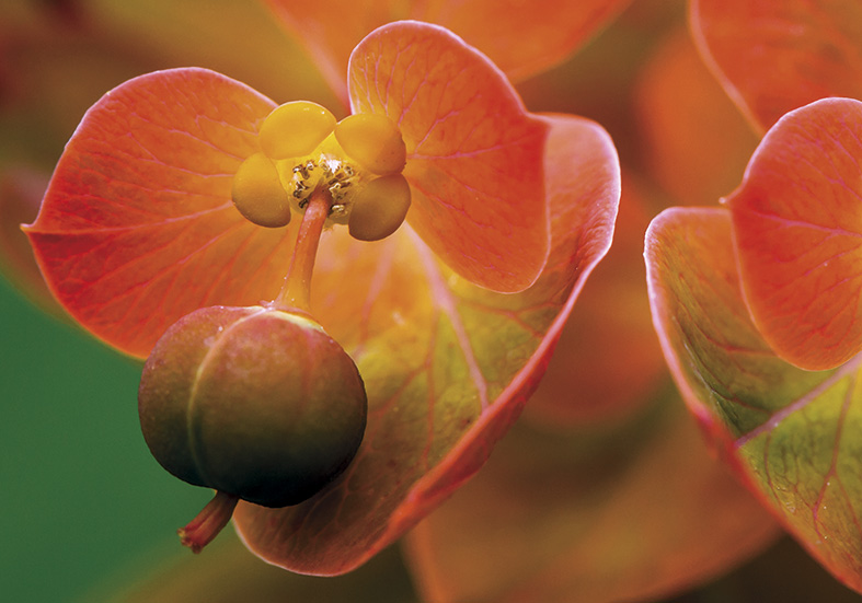 Euphorbia griffithii -  - Blüten - Flowers