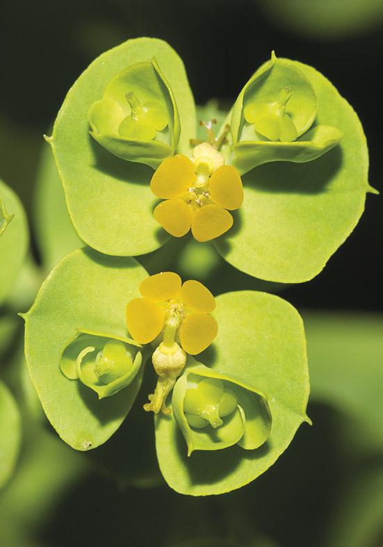 Euphorbia -  - Blüten - Flowers