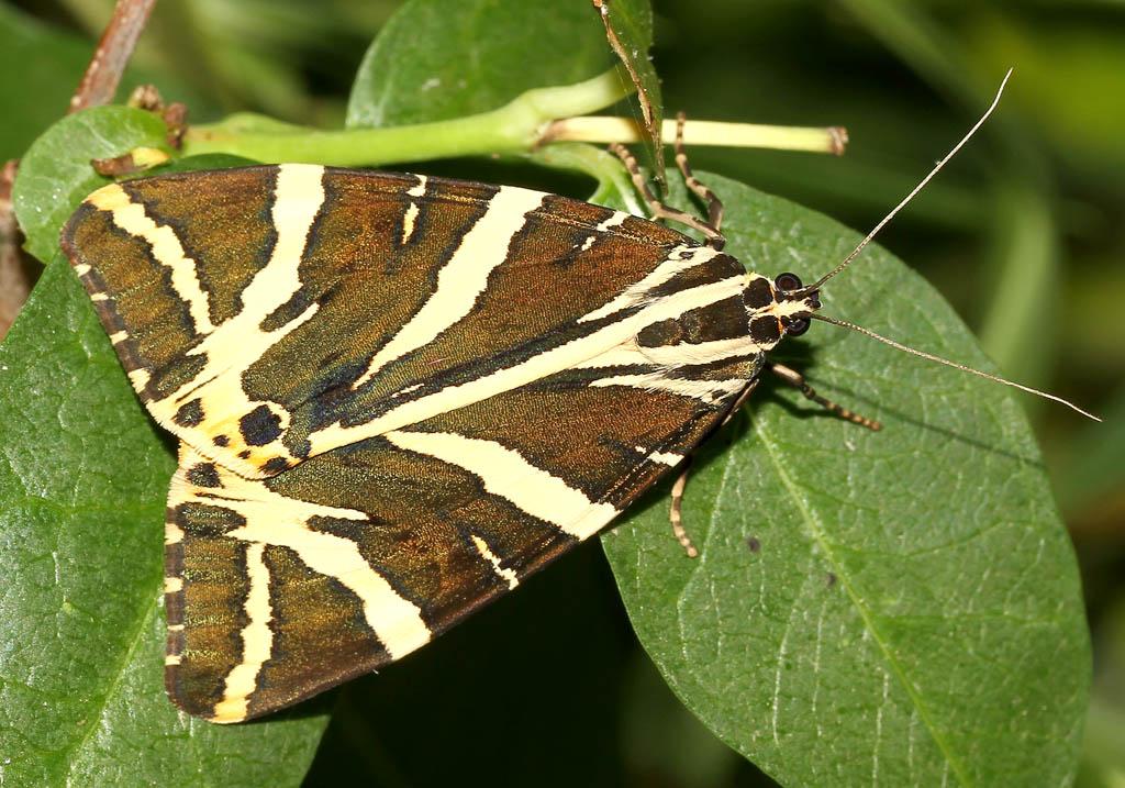 Euplagia quadripunctaria - Spanische Flagge, Russischer Bär - Fam. Erebidae/Arctiinae    -  Naxos - Nachtfalter - moths