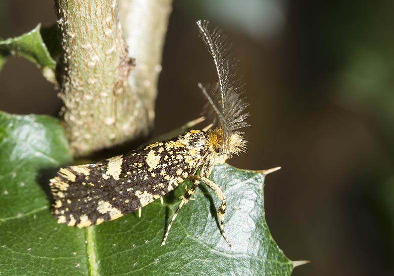 - Fam. Tineidae (Echte Motten)  -  Zagori (Griechenland) - Nachtfalter - moths