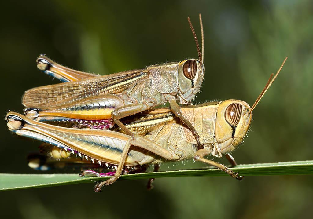 Euprepocnemis plorans - Fam. Acrididae/Eyprepocnemidinae  -  Sardinien - Caelifera - Kurzfühlerschrecken - grasshoppers