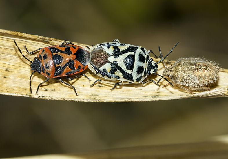 Euriderma ornata - Fam. Pentatomidae - Pilion (Griechenland) - Heteroptera - Wanzen - true bugs