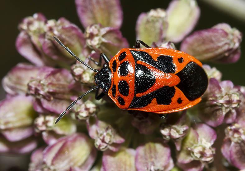 Eurydema dominulus - Zierliche Gemüsewanze - Fam. Pentatomidae - Baumwanzen - Heteroptera - Wanzen - true bugs