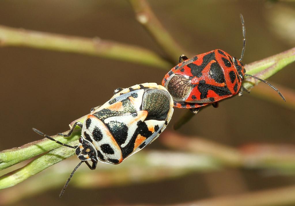 Eurydema ornatum - Fam. Pentatomidae  -  Naxos - Heteroptera - Wanzen - true bugs