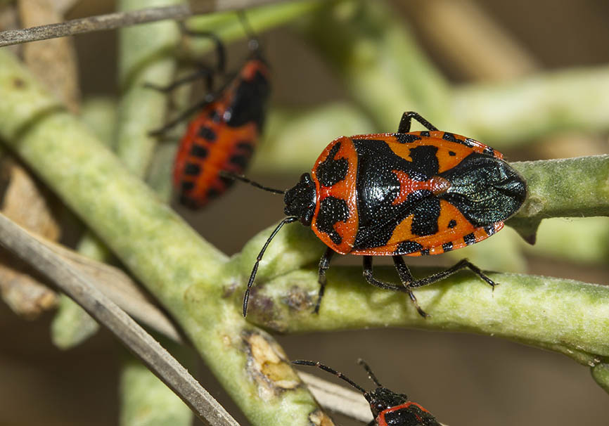 Eurydema spectabilis - Fam. Pentatomidae  -  Naxos - Heteroptera - Wanzen - true bugs