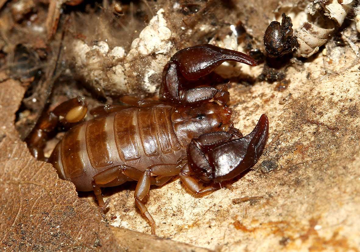 Euscorpius avcii - Samos - Scorpiones - Skorpione - scorpions