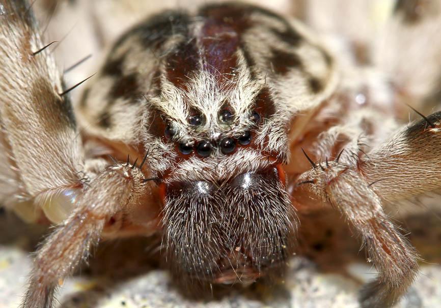 Eusparassus walckenaeri - Riesenkrabbenspinne - Fam. Sparassidae  - Lesbos - Araneae - Webspinnen - orb-weaver spiders