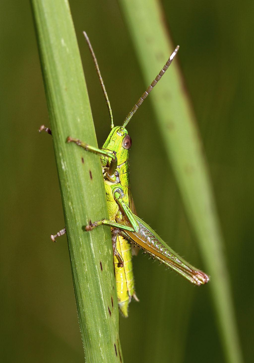 Euthystira brachyptera - Kleine Goldschrecke - UFam. Gomphocerinae - Acrididae - Feldheuschrecken - grasshoppers