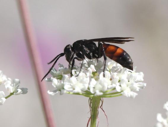 Evagetes siculus -  - Pompilidae - Wegwespen - Spider wasps