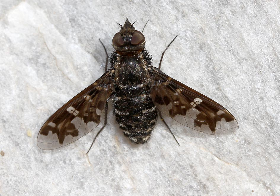 Exoprosopa pandora - Amorgos - Diptera - Fliegen