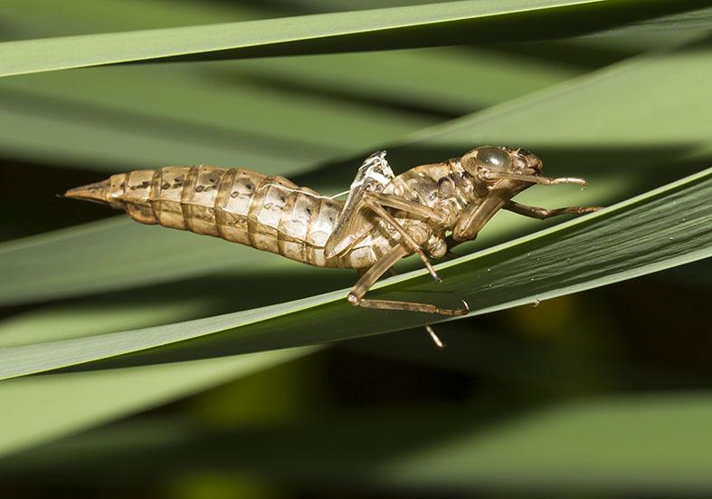 Exuvie - Aeshna cyanea  -  Blaugrüne Mosaikjungfer - Fam. Aeshnidae - Edellibellen - Anisoptera - Großlibellen - dragonflies