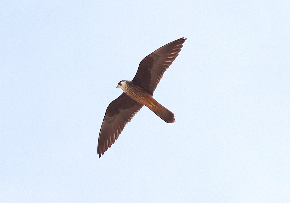 Falco eleonorae - Eleonorenfalke - helle Farbvariante (Kos) - Aves - Vögel - birds