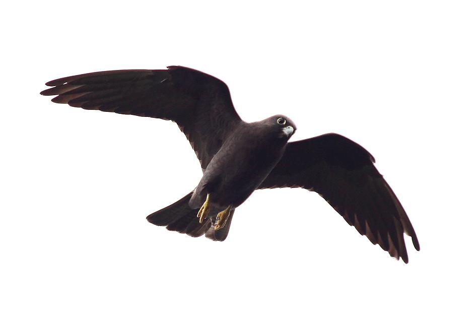 Falco eleonorae - Eleonorenfalke - dunkle Farbvariante (Naxos) - Aves - Vögel - birds