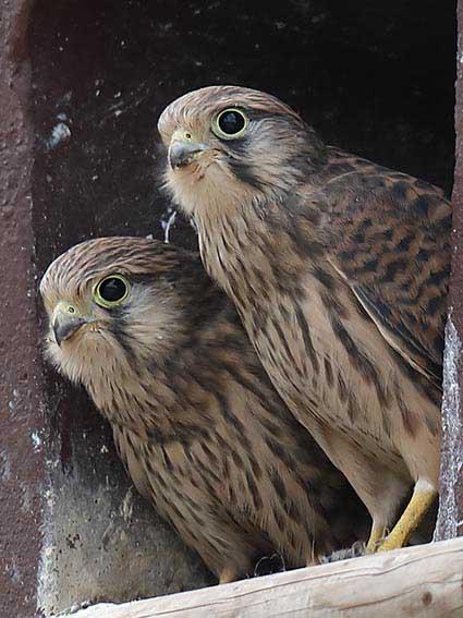 Falco tinnunculus - Turmfalken -  - Accipitriformes - Greife - birds of prey