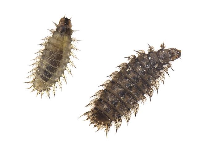 Fanniidae  -  - terrestrische Dipteren-Larven