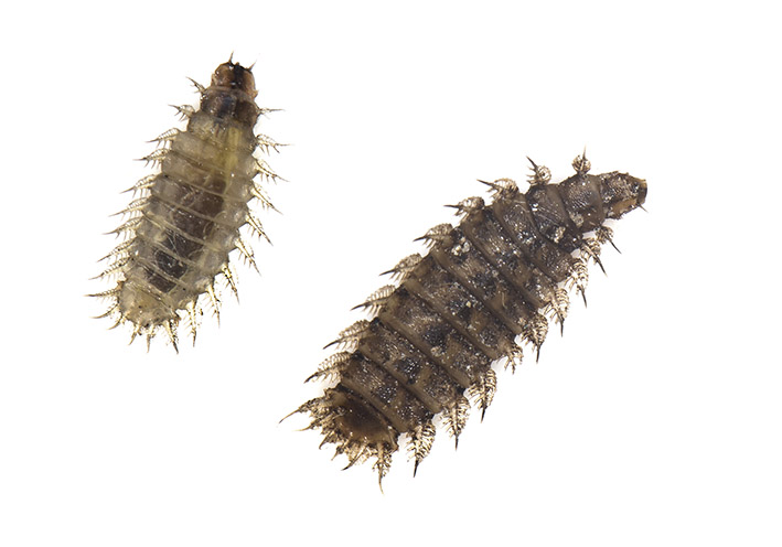 Fanniidae  -  - Dipteren-Larven