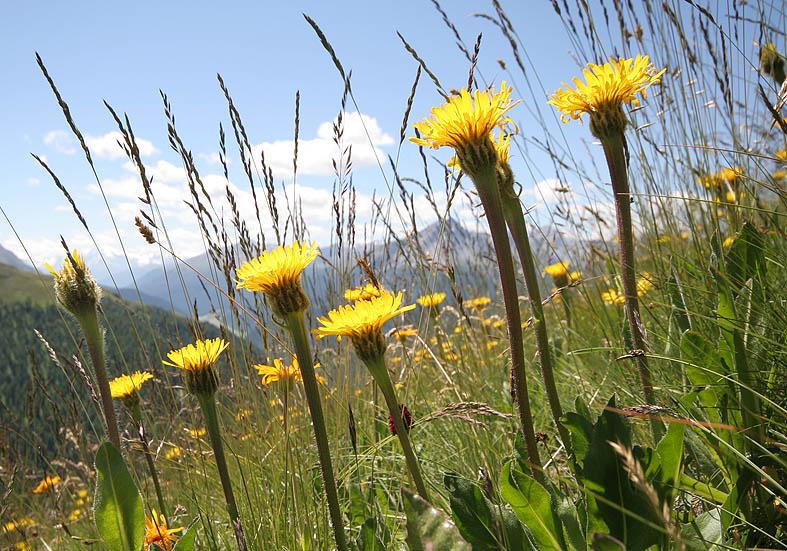 Hypochaeris uniflora - Einköpfiges Ferkelkraut - Fam. Asteraceae - Alpine Rasen - alpine grassland