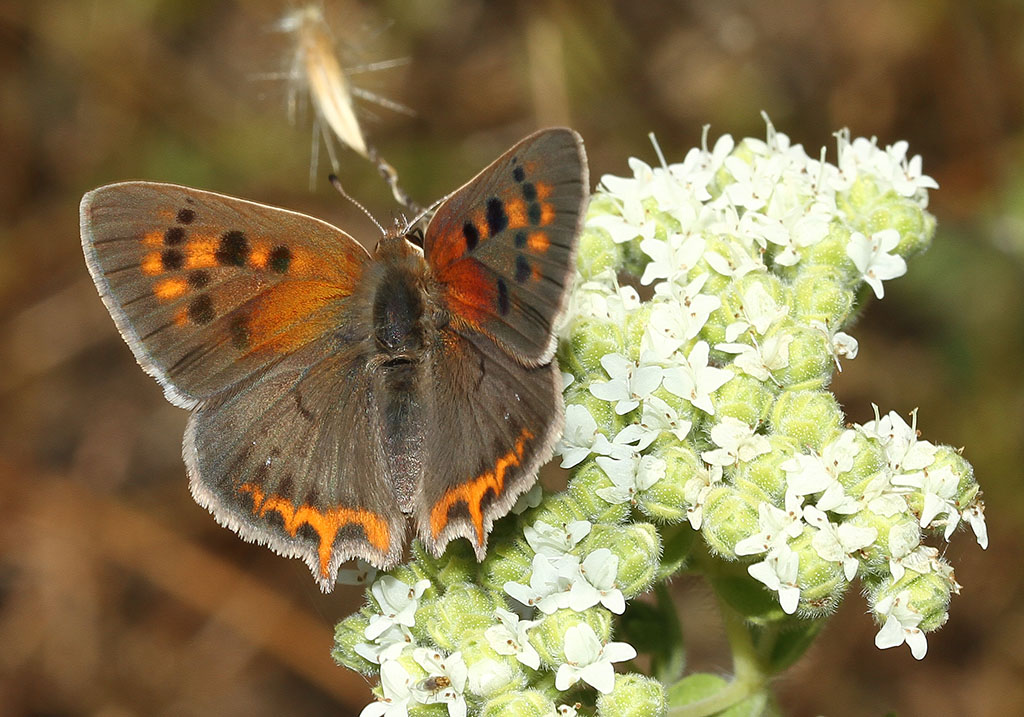 Lycaena phlaeas - Kleiner Feuerfalter - Ikaria - Lycaenidae  - Bläulinge  -  gossamer-winged butterflies