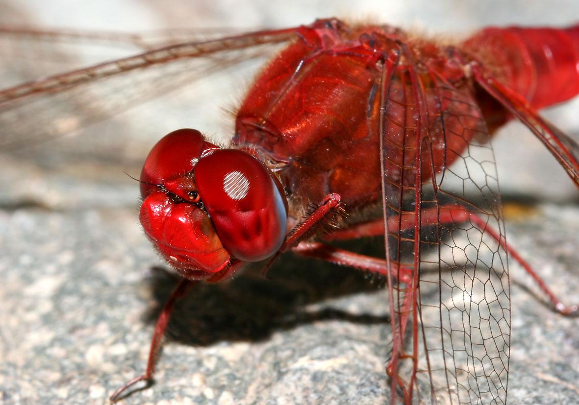 Crocothemis erythraea - Feuerlibelle    - Fam. Libellulidae  -  Sardinien - Anisoptera - Großlibellen - dragonflies