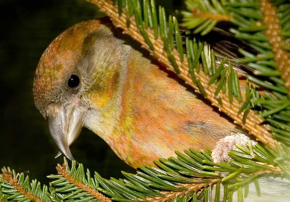 Loxia curvirostra - Fichten-Kreuzschnabel -  - Passeres - Singvögel - songbirds
