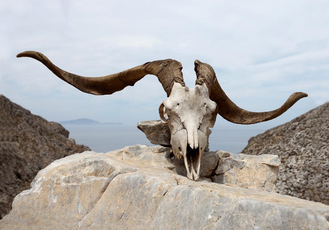 Ziegenschädel - Amorgos - Haustiere - domestic animals