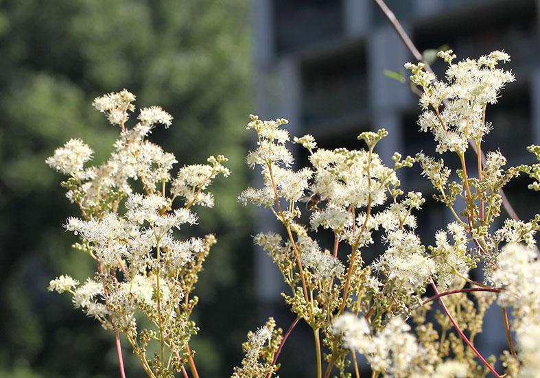 Filipendula ulmaria - Mädesüß - Fam. Rosaceae - Feuchtgebiete - wetlands