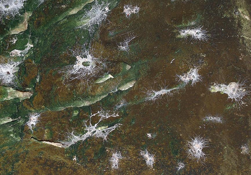 Filistata insidiatrix - Lochröhrenspinne - Fam. Filistatidae  -   Paros - Araneae - Webspinnen - orb-weaver spiders
