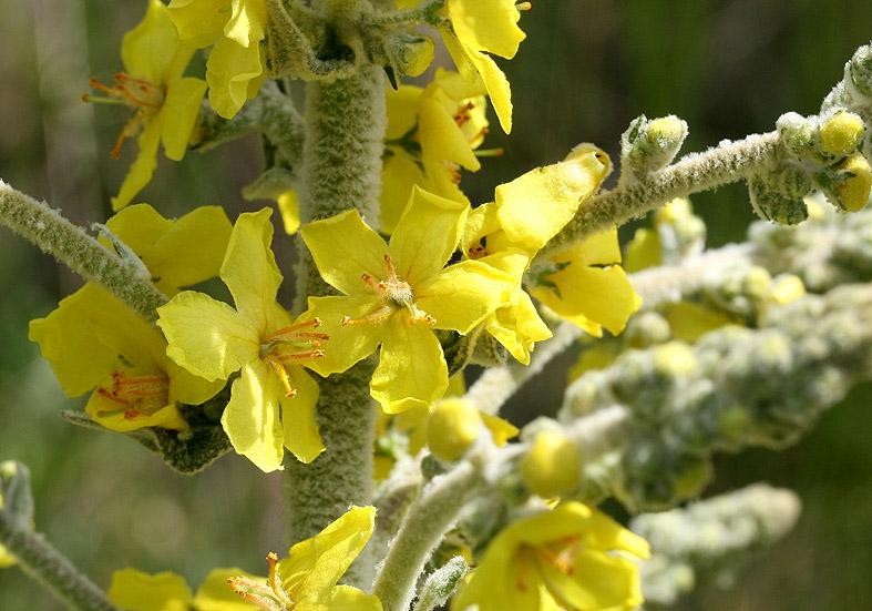 Verbascum pulverulentum - FlockigeKoenigskerze - Fam. Scrophulariaceae - Wegrand, Ruderalpflanzen - ruderal species