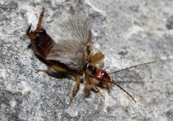 Forficula auricularia - Gemeiner-Ohrwurm -  - Dermaptera - Ohrwürmer - earwigs