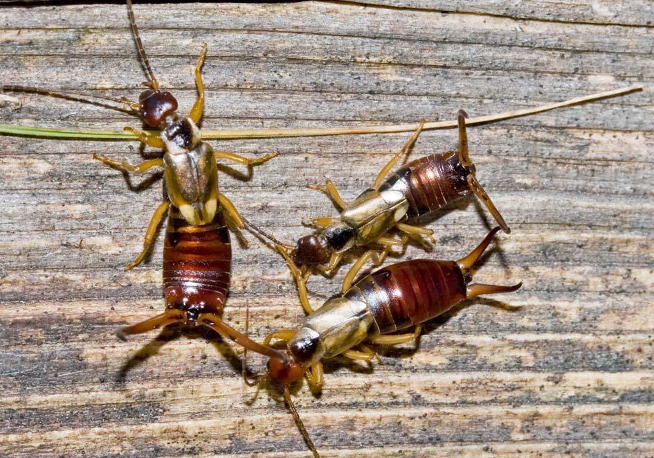 Forficula auricularia - Gemeiner Ohrwurm -  - Dermaptera - Ohrwürmer - earwigs