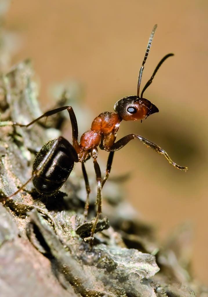 Formica aquilonia - Gebirgswaldameise -  - Formicidae - Ameisen - ants